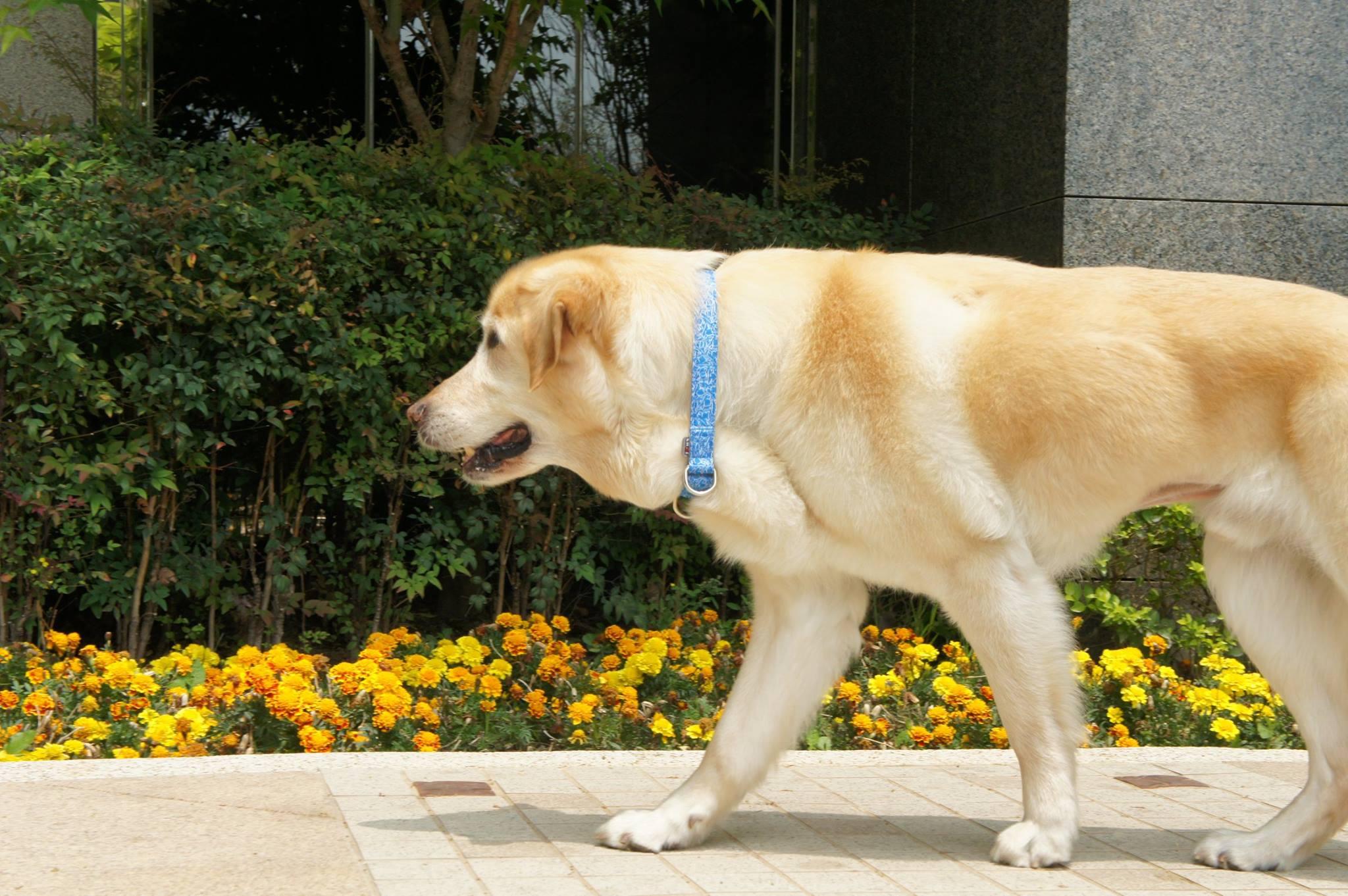 國瑞的第一隻導盲犬Ohara(李明陽攝)。